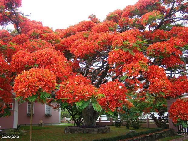 Flamboyant, no Brasil