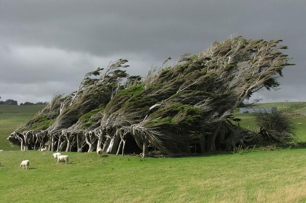 Árvore modificada brilhantemente pelos ventos da Nova Zelândia