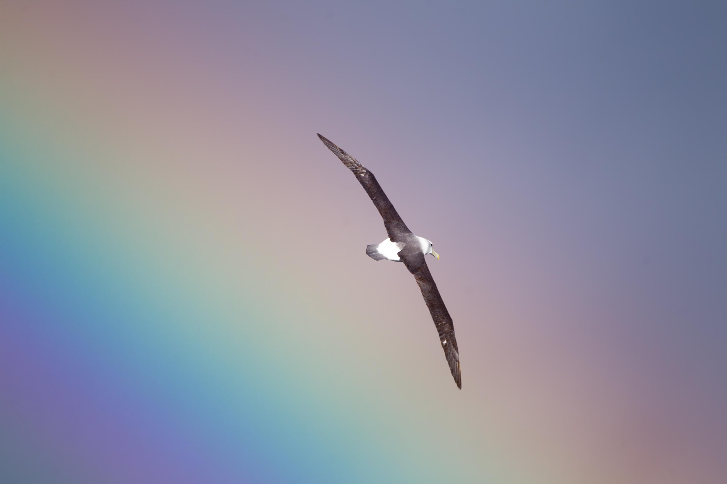 Thalassarche_cauta_over_a_rainbow_-_SE_Tasmania