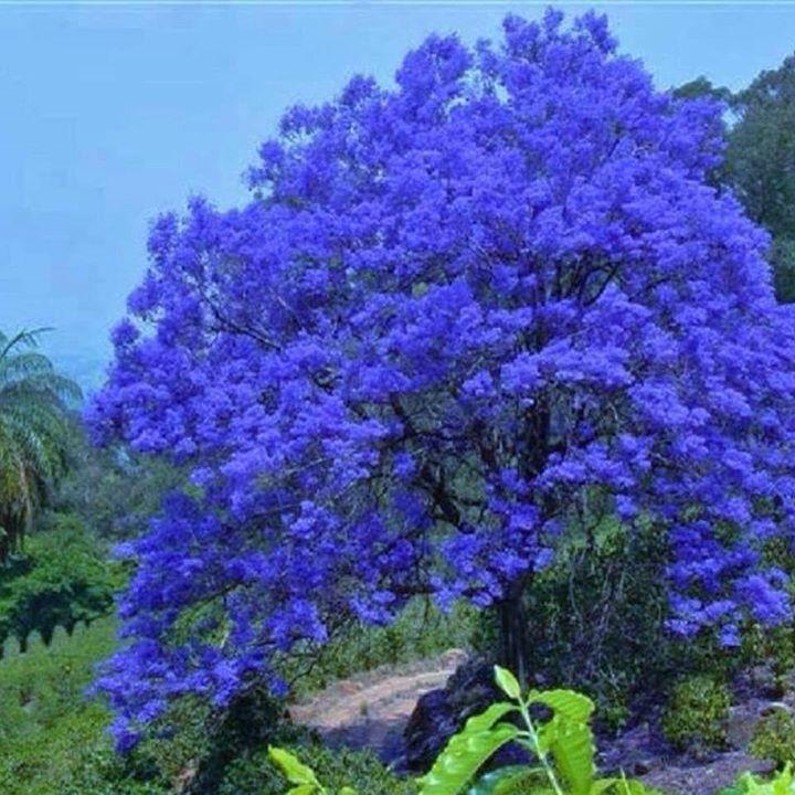 O jacarand se pintou de azul a mais compartilhada da for Arboles hoja perenne para jardin