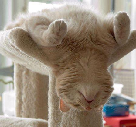 gato de barriga para cima