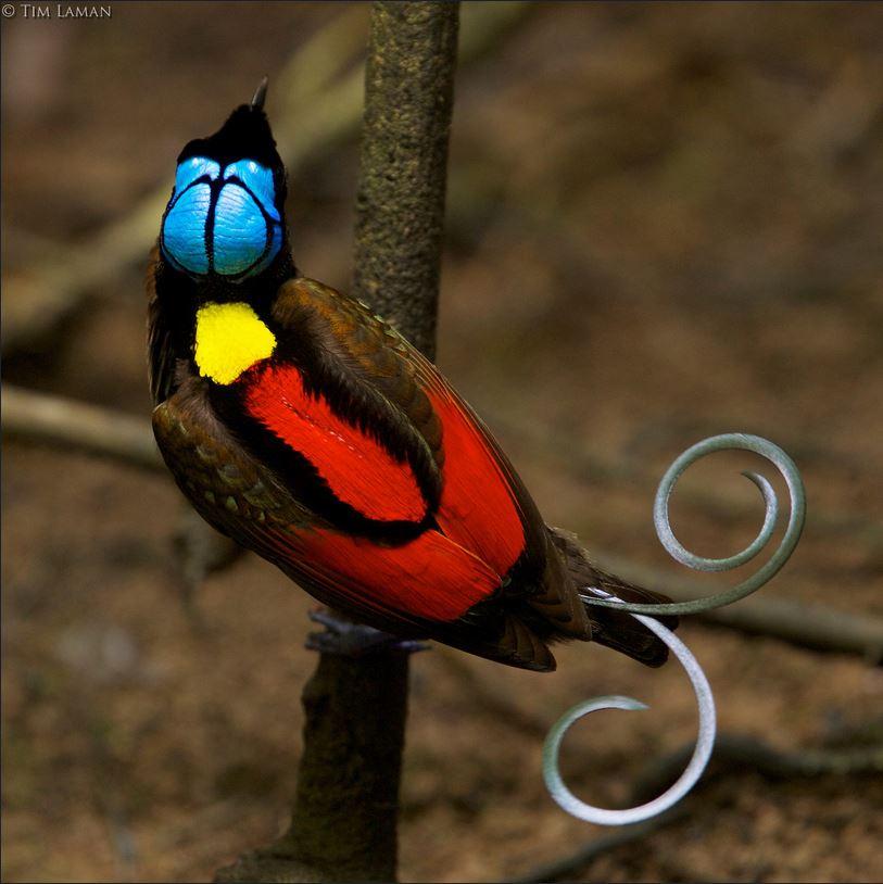 Ave-do-paraíso de Wilson (Cicinnurus respublica), endêmico da Indonésia, pertence a família Paradisaeidae, conhecida como família das aves do paraíso. Photo: Tim Laman