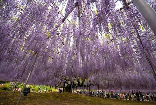 oldest-wisteria-tree-ashikaga-japan-10
