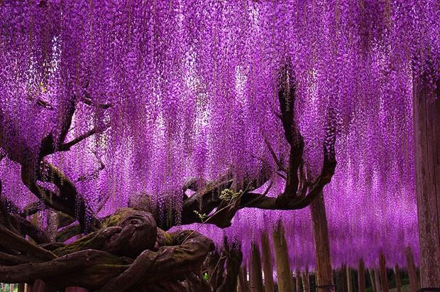 oldest-wisteria-tree-ashikaga-japan-2