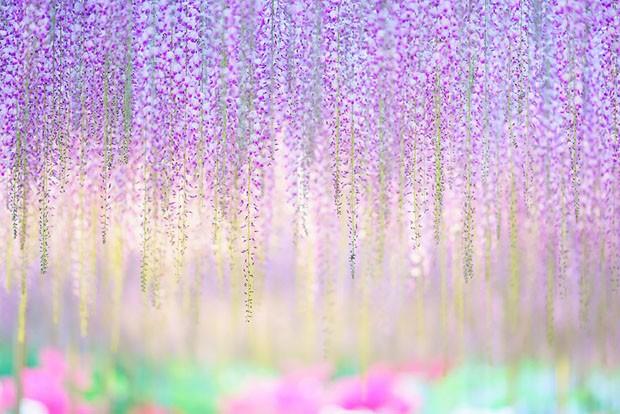 oldest-wisteria-tree-ashikaga-japan-8