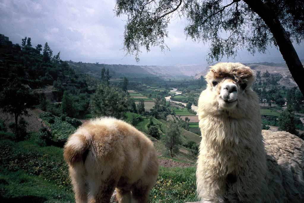 Peru_2006_02_14_Arequipa_Alpacas