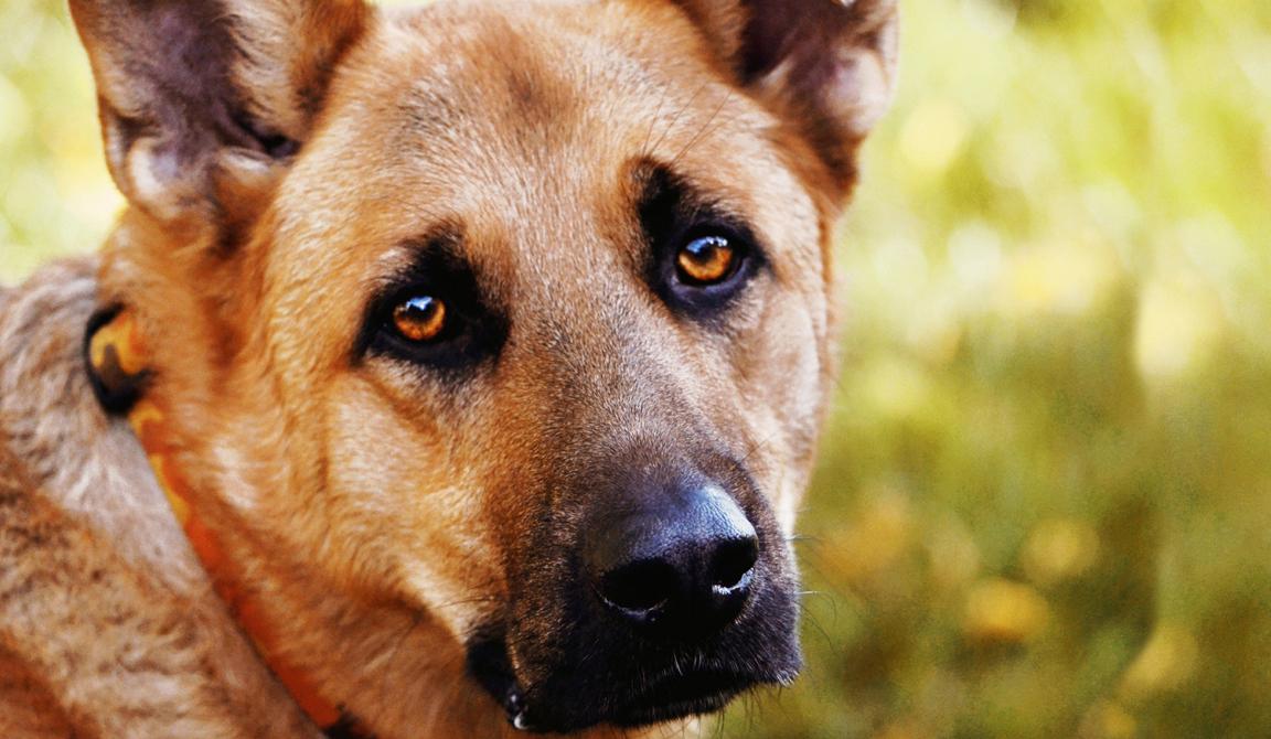 cão de olhos tristes