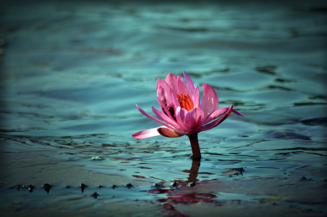 lotus-mud-flower-water-bloom