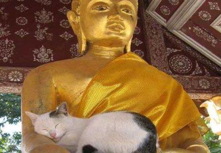 gatos-buda-2