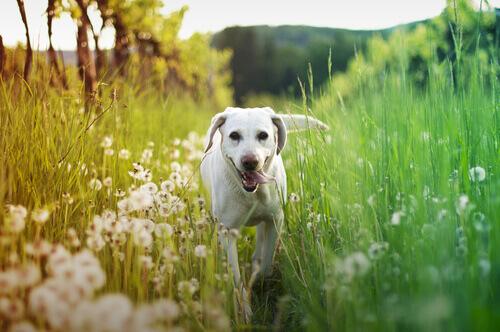 cão-no-campo