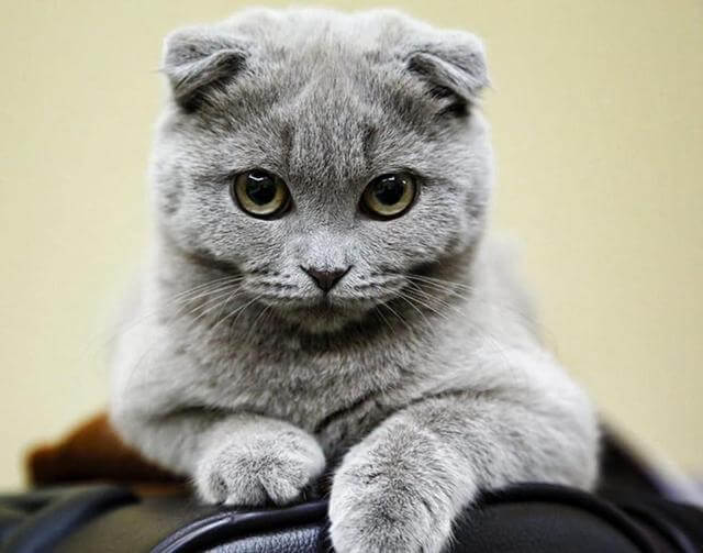 16 Dos Gatos Mais Lindos Do Mundo! Confira