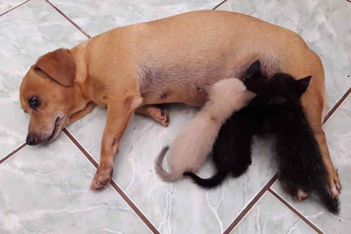 Resultado de imagem para Cadelinha que não pôde ser mãe resolve adotar e amamentar três gatinhos