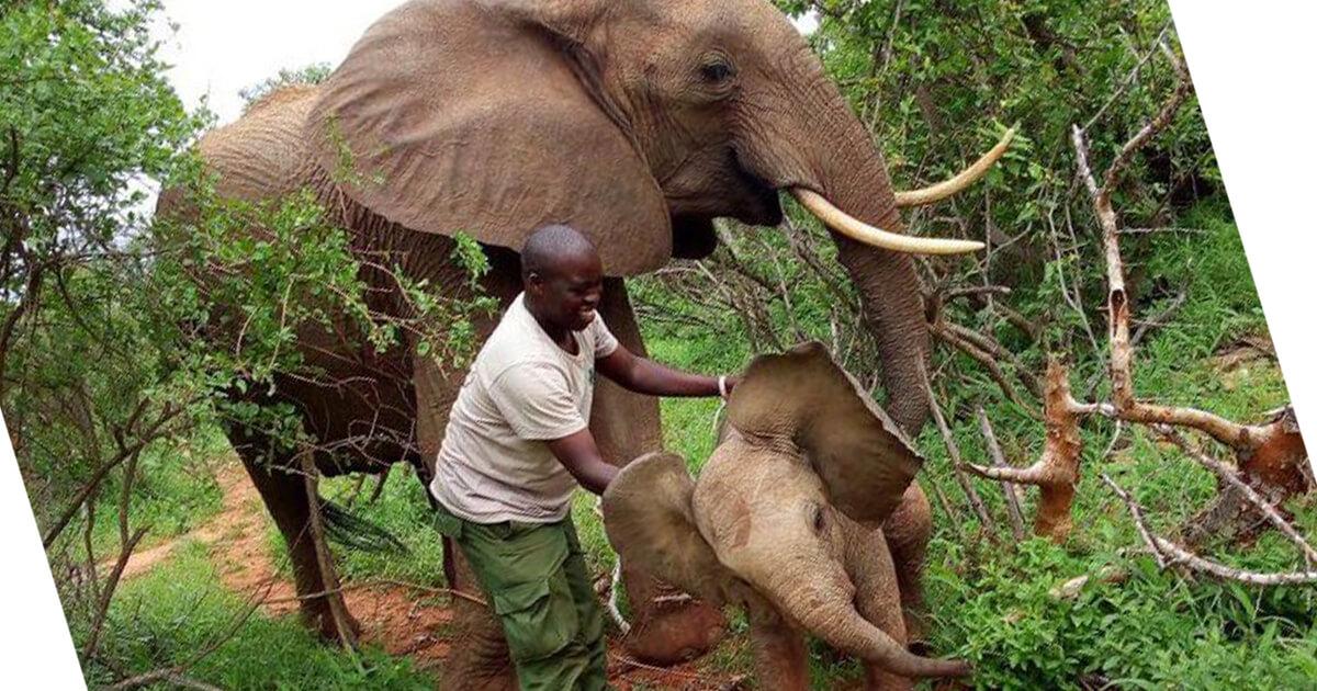 Mamãe elefante leva seu novo bebê para conhecer as pessoas que salvaram sua vida