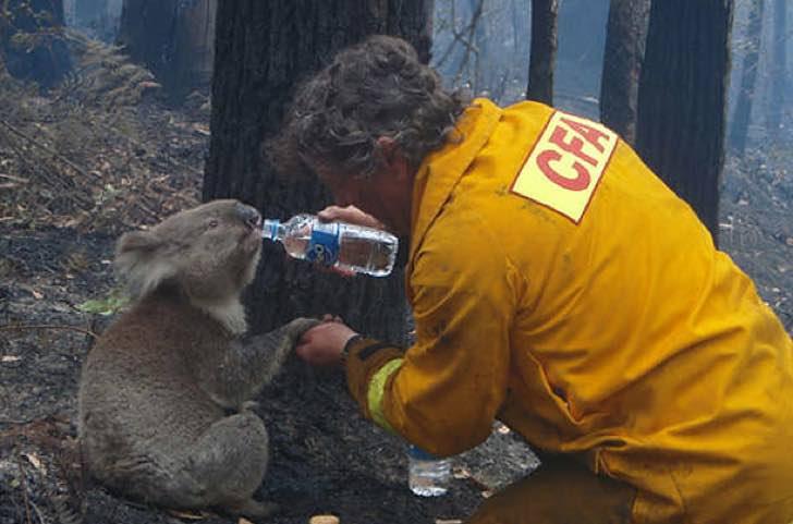 """""""Uma tragédia absoluta"""": mais de 300 coalas estão morrendo nos incêndios florestais da Austrália"""