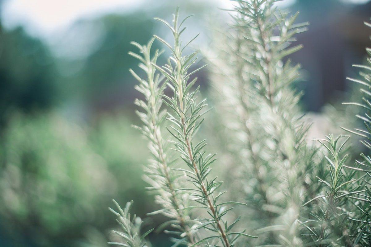 """Resultado de imagem para Saiba qual é a erva aromática que tem superpoderes contra Alzheimer e demência"""""""