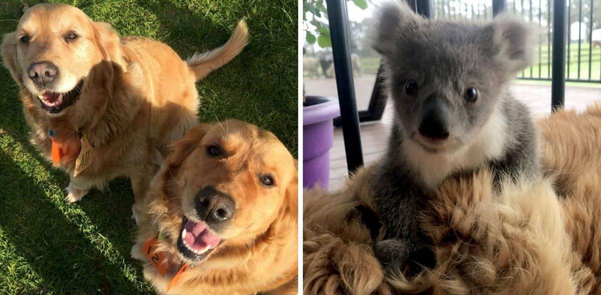 Resultado de imagem para Anjo de quatro patas: Cadelinha Golden Retriever salva bebê coala que se perdeu da mãe