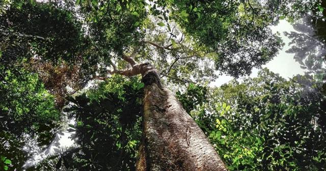 Madeireiros estão cortando árvores de 500 anos na Amazônia para transformar em 'pisos de luxo'