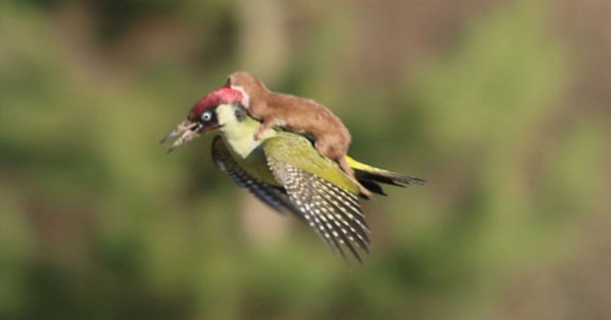 Furão voando de carona em pica-pau é a melhor imagem que você vai ver hoje